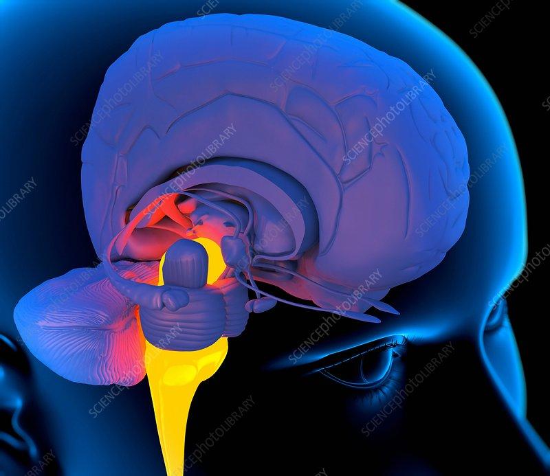 Medulla oblongata in the brain, artwork