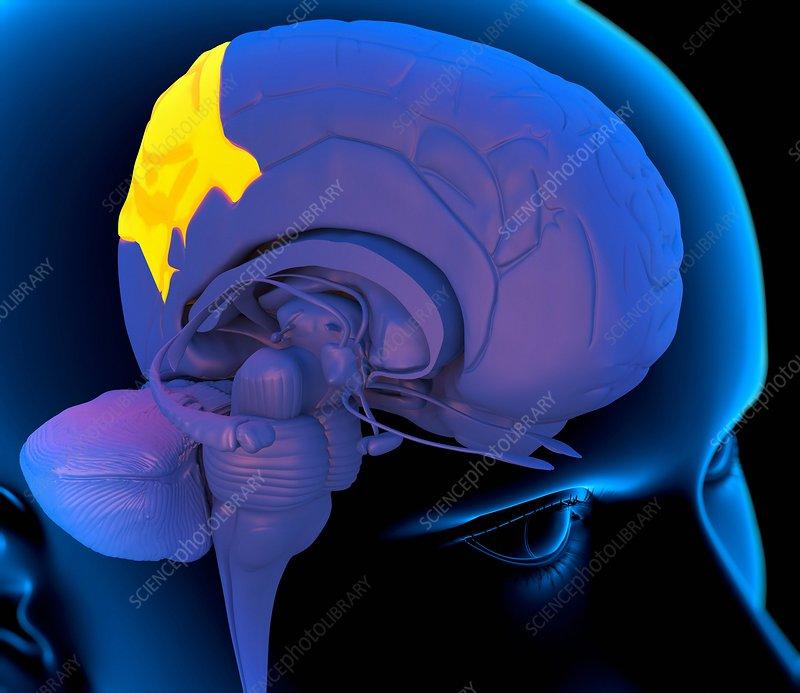 Parietal lobe in the brain, artwork - Stock Image - C003 ...