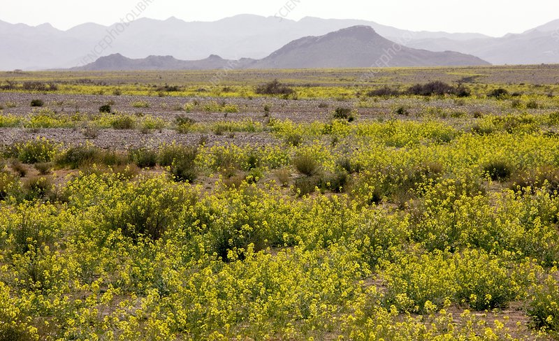 Brassica in the Sahara Desert