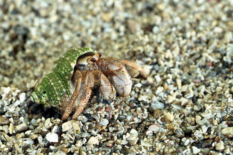 Hermit crab in a shell on sand