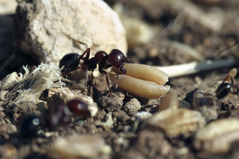 Black ant carrying grain seed