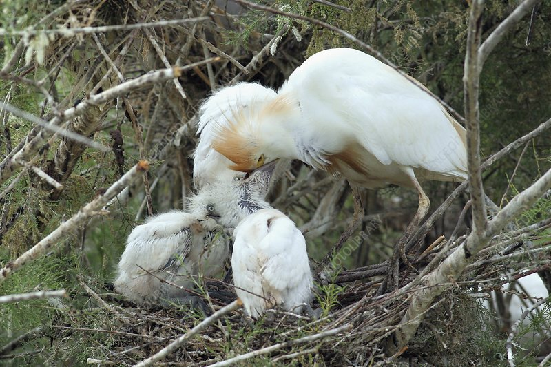 Cattle egret feeding its hatchlings