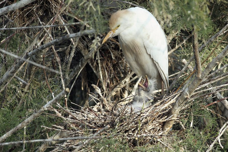 Cattle egret in a nest with a chick