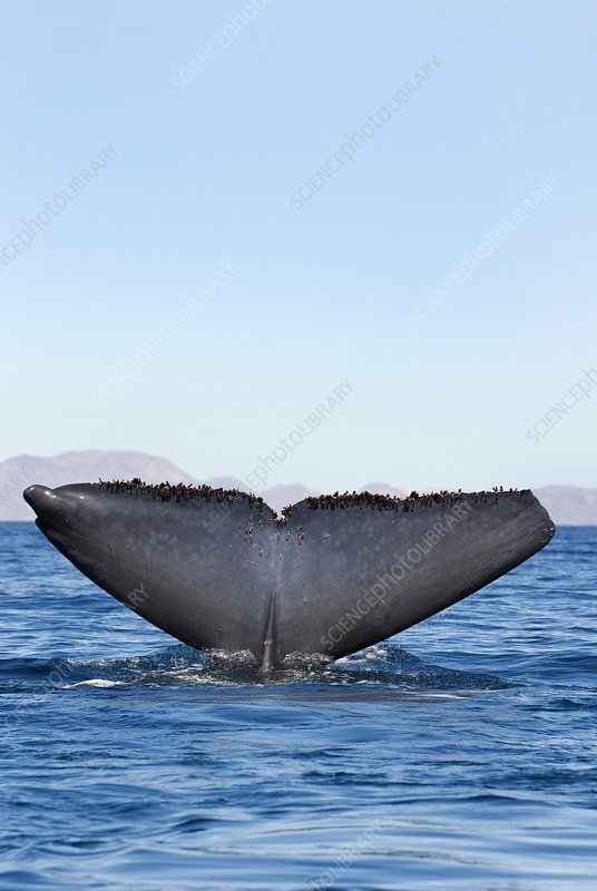 Blue whale fluking