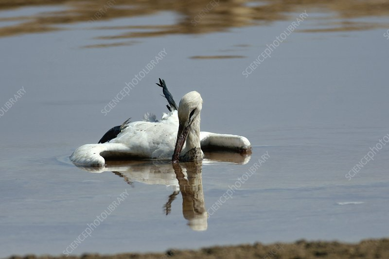 White stork drowning in the Dead Sea