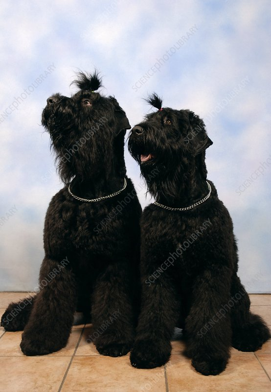 Black Russian terriers