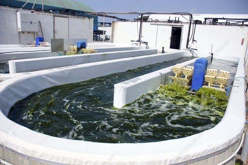 Growing algae for fish food