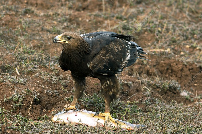Greater spotted eagle with a fish