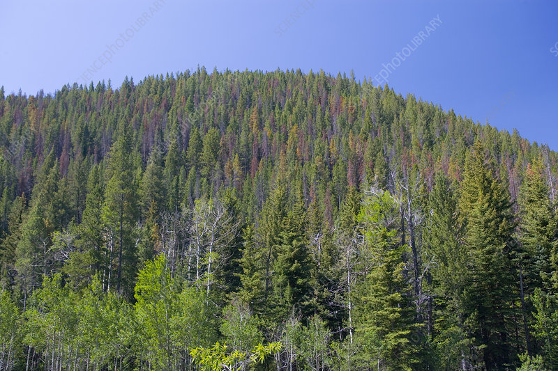 Pine Bark Beetle Damage