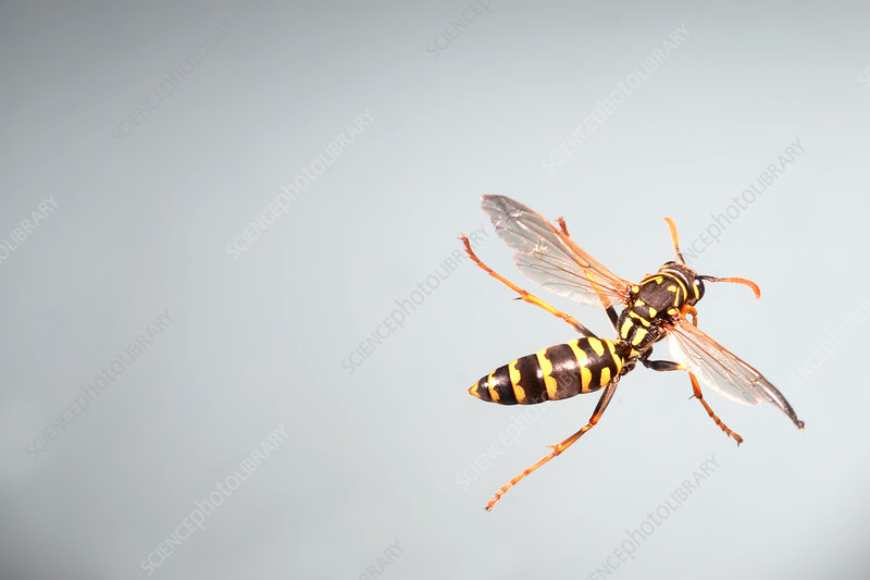 Eastern Yellow Jacket Wasp in Flight