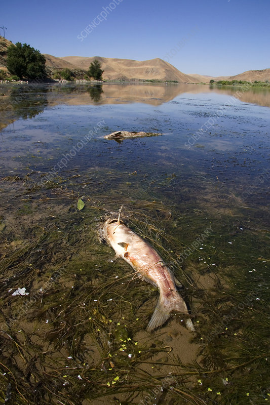 Dead Fish on the Snake River, Idaho