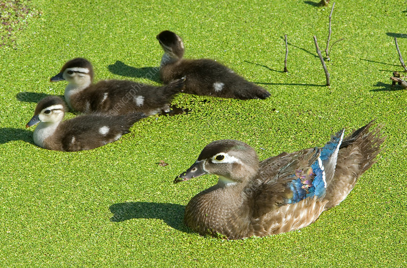 Wood Duck (Aix sponsa) with ducklings