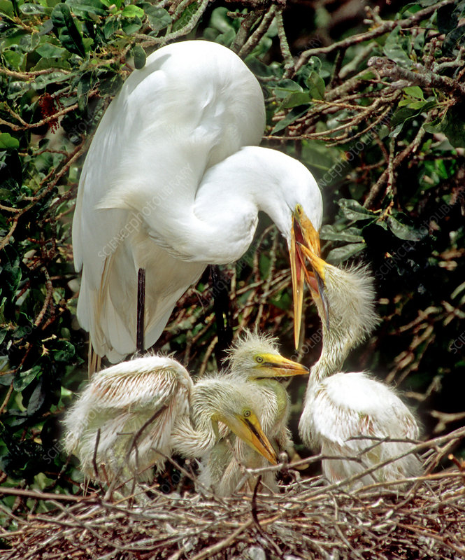Great Egret (Ardea alba) feeding chicks