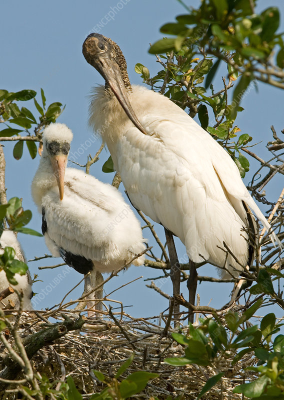 Wood Stork adult with young, preening
