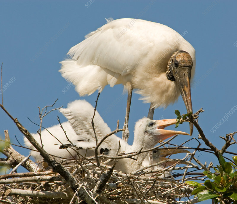Wood Stork adult with chick in nest