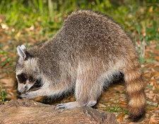 Raccoon adult digging for grubs