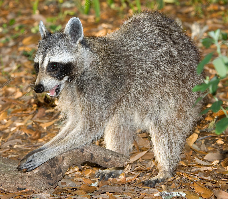 Raccoon adult feeling for grubs
