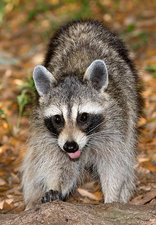 Raccoon (Procyon lotor) adult foraging