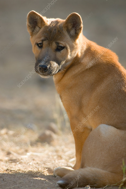 New Guinea Singing Dog (Canis hallstromi)
