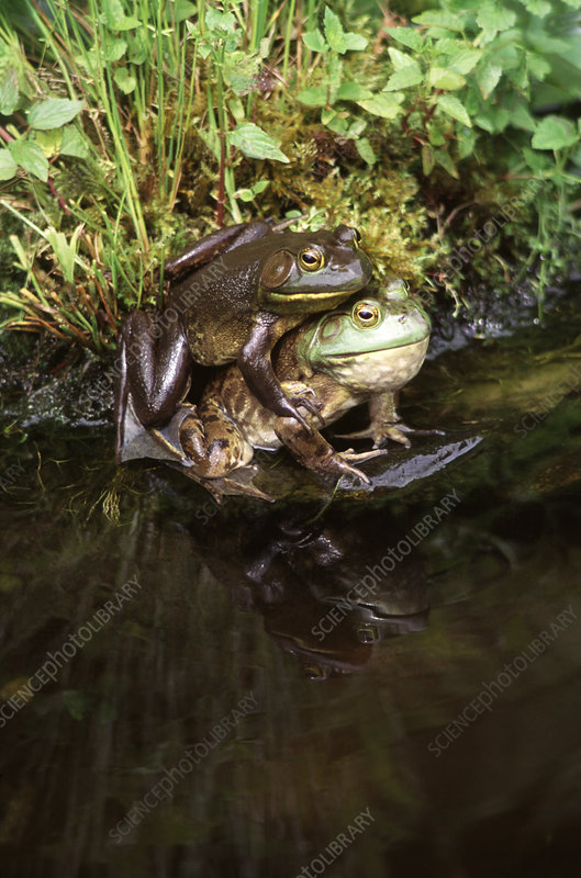 Bullfrogs mating