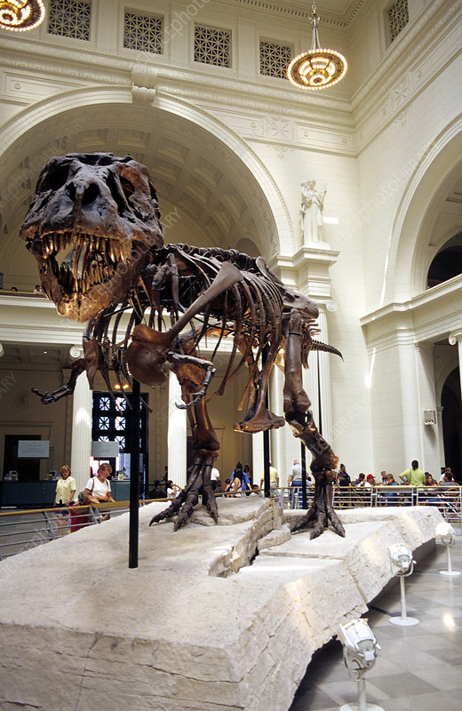 T-Rex at the Field Museum in Chicago