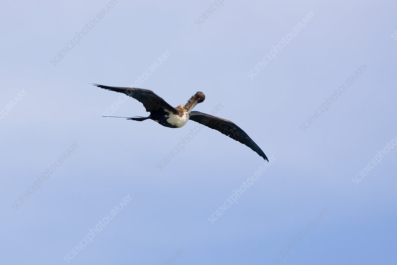 Frigatebird preening while in flight