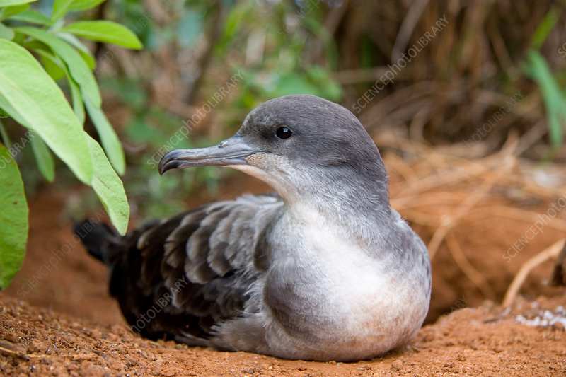 Wedge-tailed Shearwater (Puffinus pacific