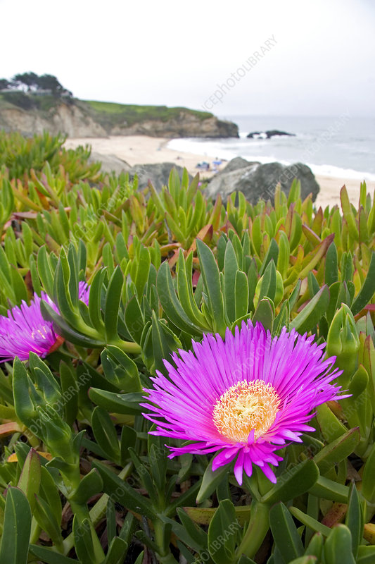 The flower of an ice plant