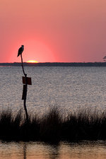 Osprey perched at sunset on Abelmarle sou