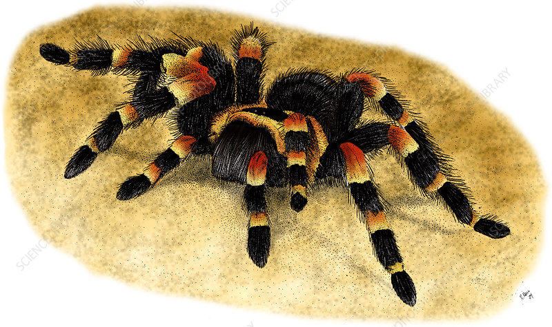 Mexican Red Kneed Tarantula