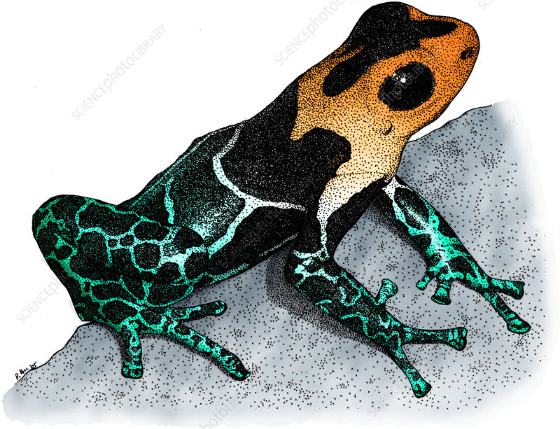 Crowned Poison Frog