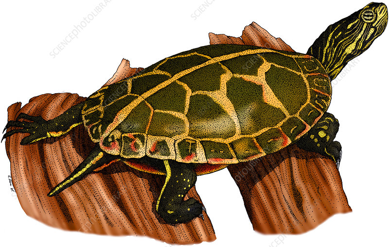 Southern Painted Turtle