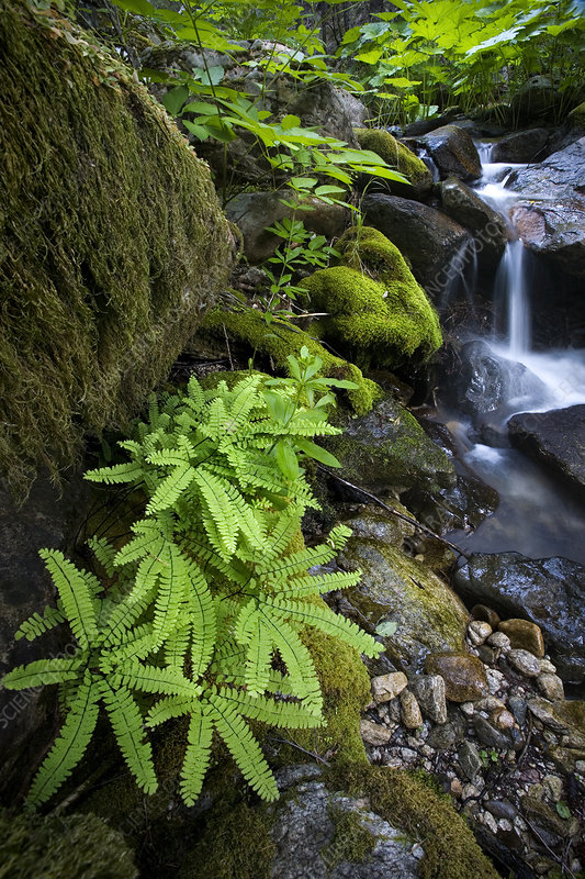 Ferns and Waterfall, CA