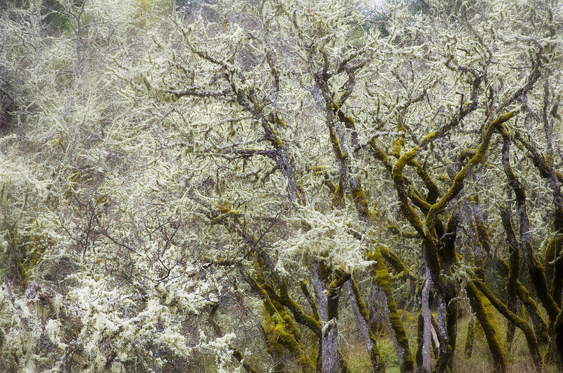 Lichen Covered Oak Trees, OR