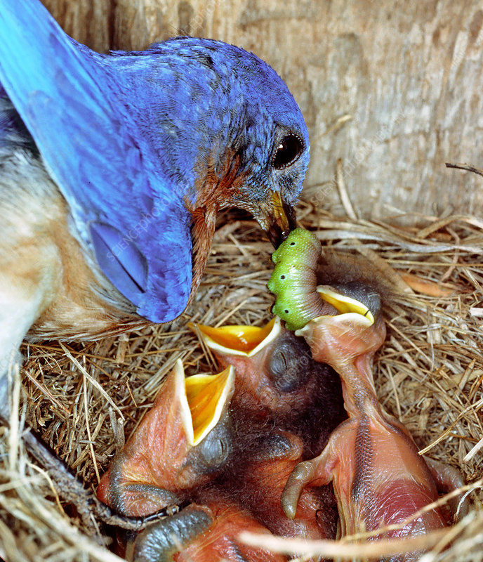 Male Bluebird feeding a caterpillar to ch