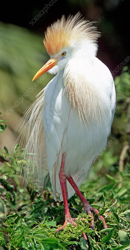 Cattle Egret adult in breeding plumage