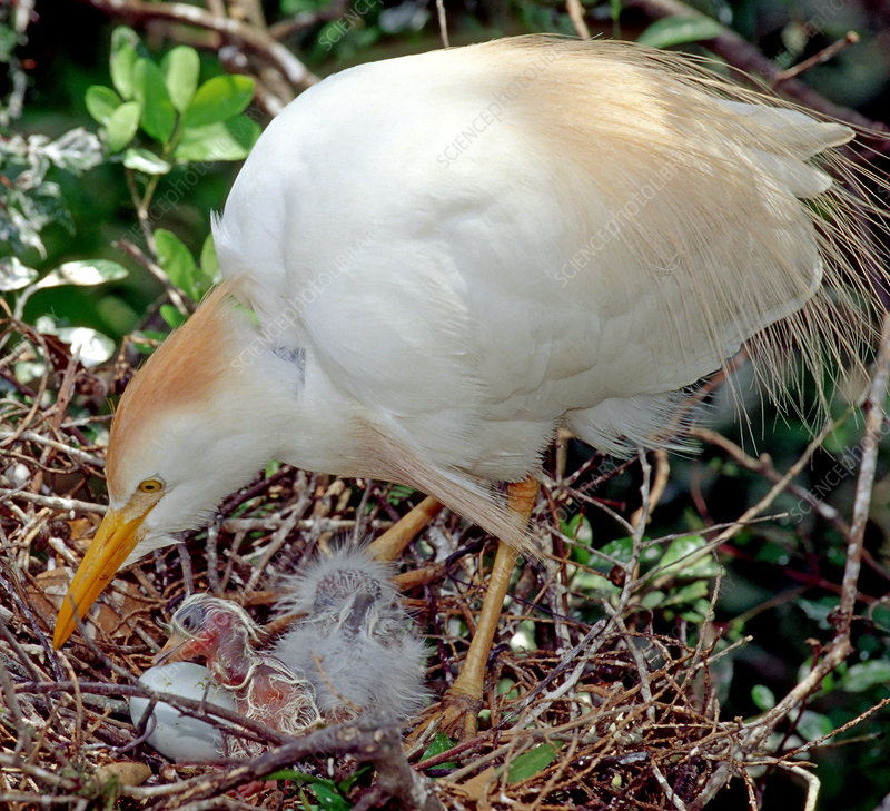 Cattle Egret adult with hatching chick