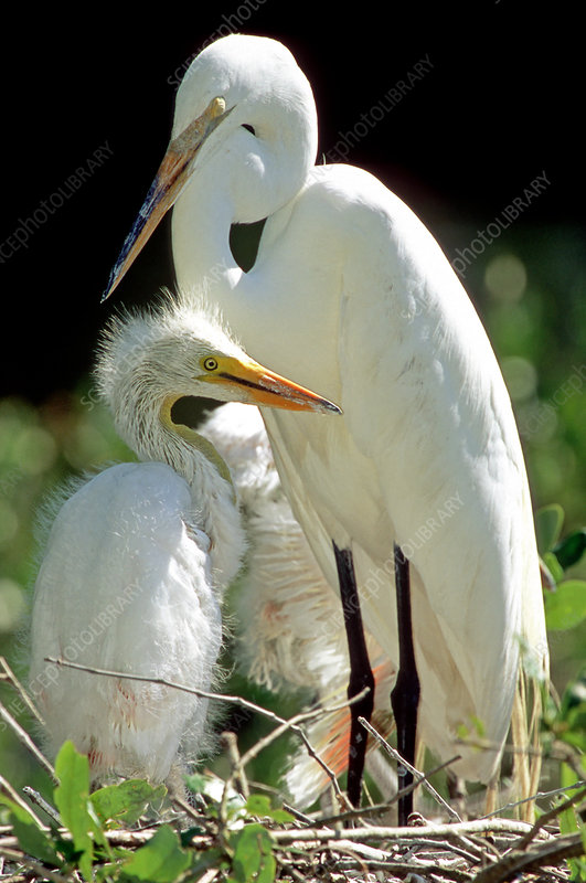 Great Egret (Ardea alba) adult with young