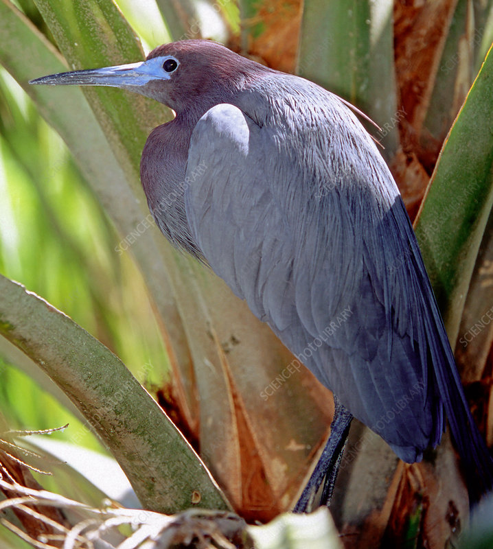 Little Blue Heron male in breeding colors