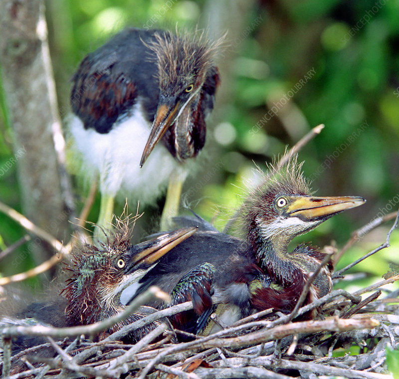Tricolored Heron nestlings