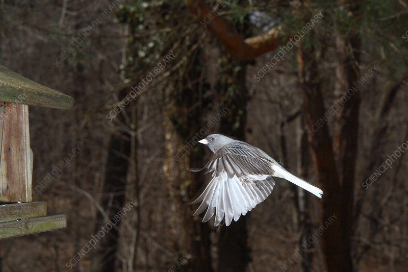 Dark-eyed Junco in Flight