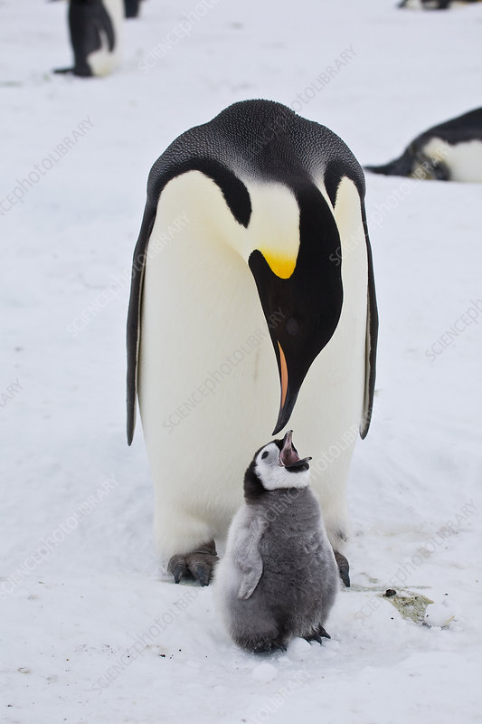 Emperor Penguin chick begging for food