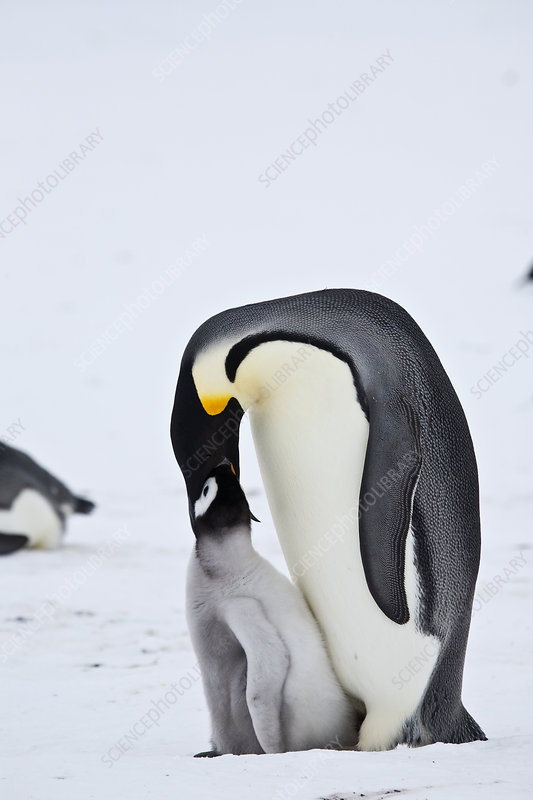 Emperor Penguin chick being fed