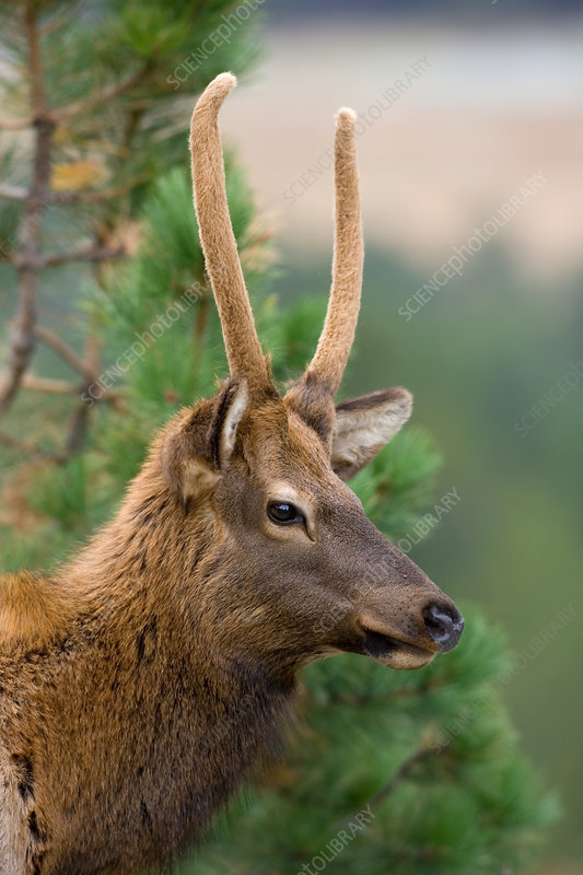 Rocky Mountain Elk young bull in velvet