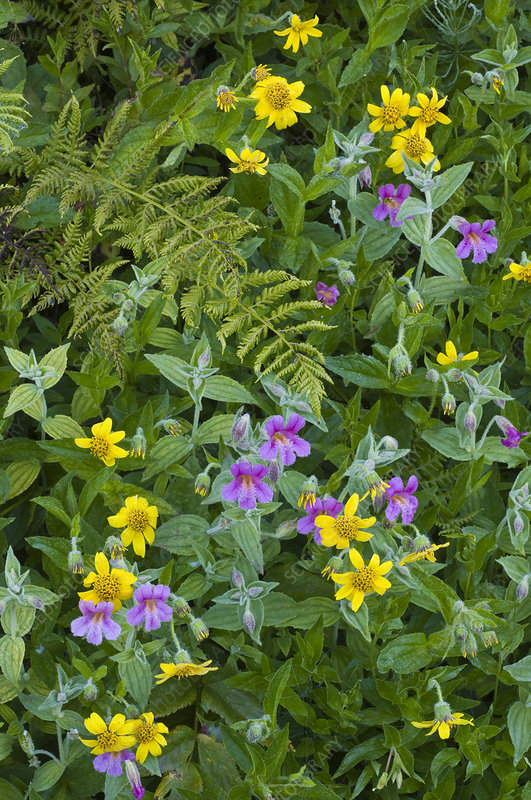 Monkey Flower and Arnica