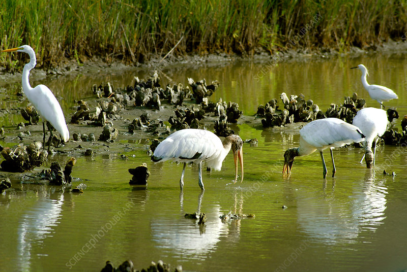 Wood Storks and Great Egrets Feeding