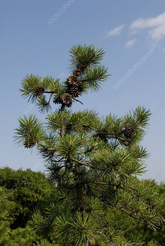 Pitch Pine Tree