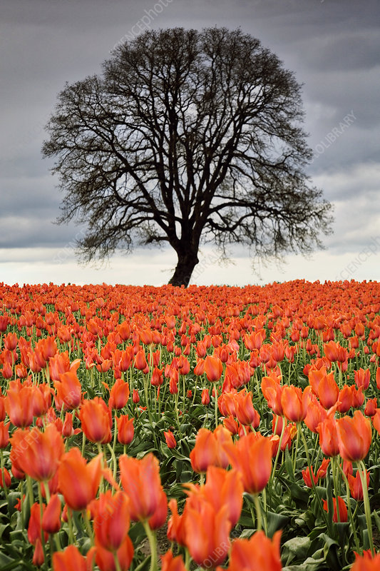 Tulips and Tree, OR
