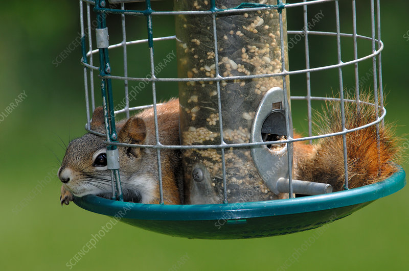 Red Squirrel in birdfeeder
