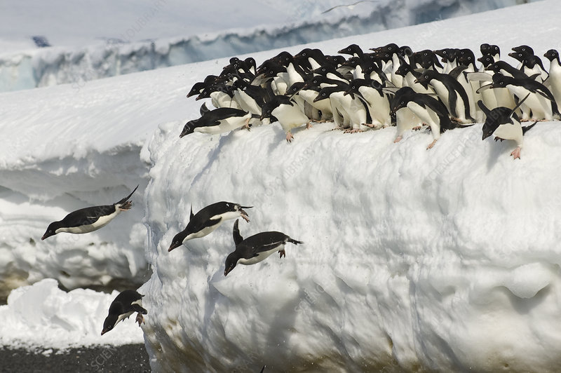Adelie penguins leaping into ocean